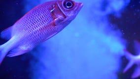 Bardzo piękna czerwieni ryba Wolno ryba pływania Udziały rybi Sargocentron diadema zdjęcie wideo