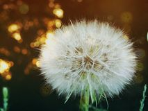 Bardzo piękny dandelion makro- fotografia royalty free