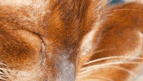 Bardzo piękny kot niezwykły brown kolor śpi Z włosami kotów kłamstwa z zamkniętymi oczami zamknięty kwiatu komarnicy macro target zbiory