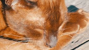 Bardzo piękny kot niezwykły brown kolor śpi Z włosami kotów kłamstwa z zamkniętymi oczami zamknięty kwiatu komarnicy macro target zbiory wideo