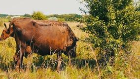 Bardzo piękny niezwykły popiółu kolor krowa pasa w obiektyw kamera wideo i spojrzenia zbiory wideo