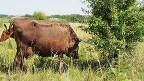 Bardzo piękny niezwykły popiółu kolor krowa pasa w obiektyw kamera wideo i spojrzenia zdjęcie wideo