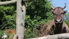 Bardzo piękny niezwykły popiółu kolor krowa pasa w obiektyw kamera wideo i spojrzenia zbiory