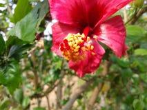 Bardzo piękny czerwony kwiat Zdjęcia Royalty Free