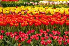Bardzo pi?kny i ?adny tulipan lubi dzwon w przedpolu obraz royalty free