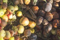 Bardzo przegnili zieleni, koloru żółtego i rewolucjonistki jabłka na ziemi, Jesieni Rolnych Nadmiernych upraw żniwa Owocowy tło Obrazy Stock