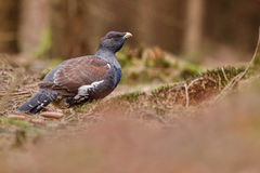 Bardzo rzadki dziki capercaillie w natury siedlisku w europejskim lesie Obraz Stock