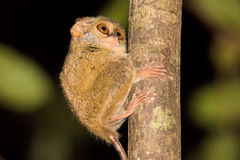 Bardzo rzadki Spektralny Tarsier, Tarsius widmo, Tangkoko park narodowy, Sulawesi, Indonezja Obrazy Stock