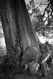 Bardzo silny i stary drzewo w parku Obraz Stock