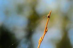 Bardzo smal męski pająk misumena vatiasits blisko swój sieci Obraz Stock