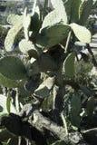 Bardzo stara Kłującej bonkrety kaktusa roślina Zdjęcie Stock