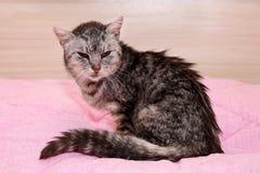Bardzo stary chory popielaty tabby kot, ratujący od ulic, siedzący na różowej koc, patrzejący smutny i nędzny fotografia royalty free