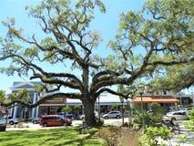 Bardzo stary drzewo który i rozgałęzia się za daleko CHŁODNO «skręta «spojrzenie przy bazą zdjęcie stock