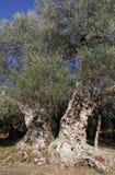 bardzo stary drzewo oliwne Fotografia Royalty Free