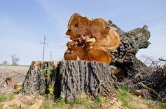 Bardzo stary i duży topolowego drzewa plasterek Obraz Royalty Free