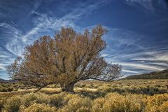 Bardzo Stary Wierzbowy drzewo blisko bagna Fotografia Royalty Free