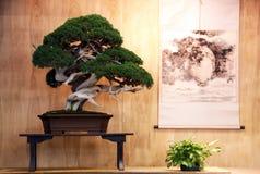 Bardzo starzy bonsai Obraz Royalty Free