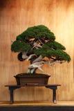 Bardzo starzy bonsai Obraz Stock