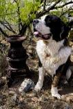 Bardzo szczęśliwy święty Bernard Zdjęcie Royalty Free
