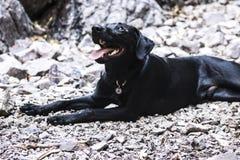 Bardzo szczęśliwy czarny lab kłaść w skałach Zdjęcie Royalty Free