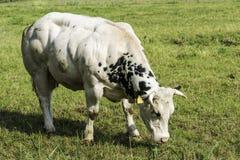 Bardzo umięśniona krowa w zieleni polu Obraz Stock