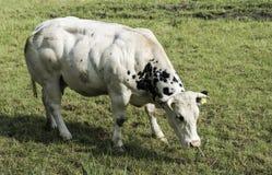 Bardzo umięśniona krowa w zieleni polu Obrazy Stock