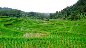 Bardzo unikalna forma ryżu pole Fotografia Stock