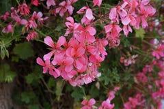 Bardzo wkrótce przekształcać nasz ogródy jaskrawi kolory kwitnienie kwiaty zdjęcie stock