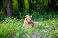 Bardzo zagrożoni gatunki Asiatic lew i rzadki Zdjęcia Stock