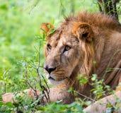 Bardzo zagrożoni gatunki Asiatic lew i rzadki Zdjęcie Royalty Free