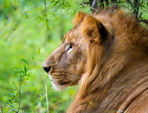Bardzo zagrożoni gatunki Asiatic lew i rzadki Obrazy Royalty Free