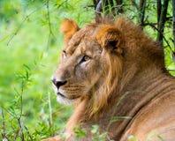 Bardzo zagrożoni gatunki Asiatic lew i rzadki Zdjęcie Stock