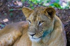 Bardzo zagrożoni gatunki Asiatic lew i rzadki Obrazy Stock