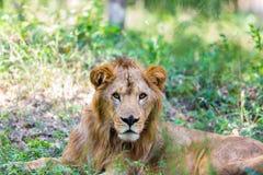 Bardzo zagrożoni gatunki Asiatic lew i rzadki Zdjęcia Royalty Free