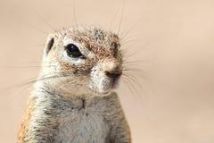 Południe - afrykanin Zmielona wiewiórka (1) Zdjęcie Royalty Free