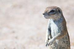 Południe - afrykanin Zmielona wiewiórka 2 Zdjęcia Royalty Free