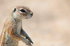 Południe - afrykanin Zmielona wiewiórka 3 Zdjęcie Stock