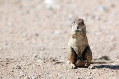Południe - afrykanin Zmielona wiewiórka Zdjęcia Stock