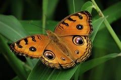 Bardzo zbliżenie pawi pancy motyl na zielonej trawy tle Obraz Stock
