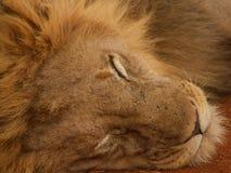 Bardzo zrelaksowany męski lew Fotografia Royalty Free