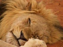 Bardzo zrelaksowany męski lew Zdjęcie Stock