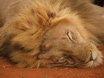 Bardzo zrelaksowany męski lew Zdjęcia Royalty Free