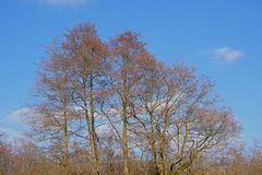 Bare alders tree crowns against a blue sky Royalty Free Stock Photo
