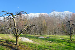 Bare apple trees beneath snow capped mountains. Royalty Free Stock Images