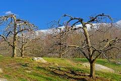 Bare apple trees beneath snow capped mountains. Stock Photos