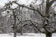Bare Apple Trees are covered with snow in the Smokies. Royalty Free Stock Photography
