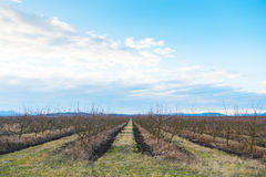 Bare apple trees in orchard in early spring Stock Photography