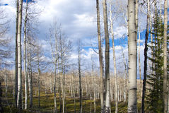Bare Aspen Forest in Dappled Sunlight Stock Photo