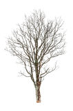 Bare autumn tree Royalty Free Stock Images