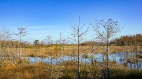 bare autumn trees in cypress swamp stock photography